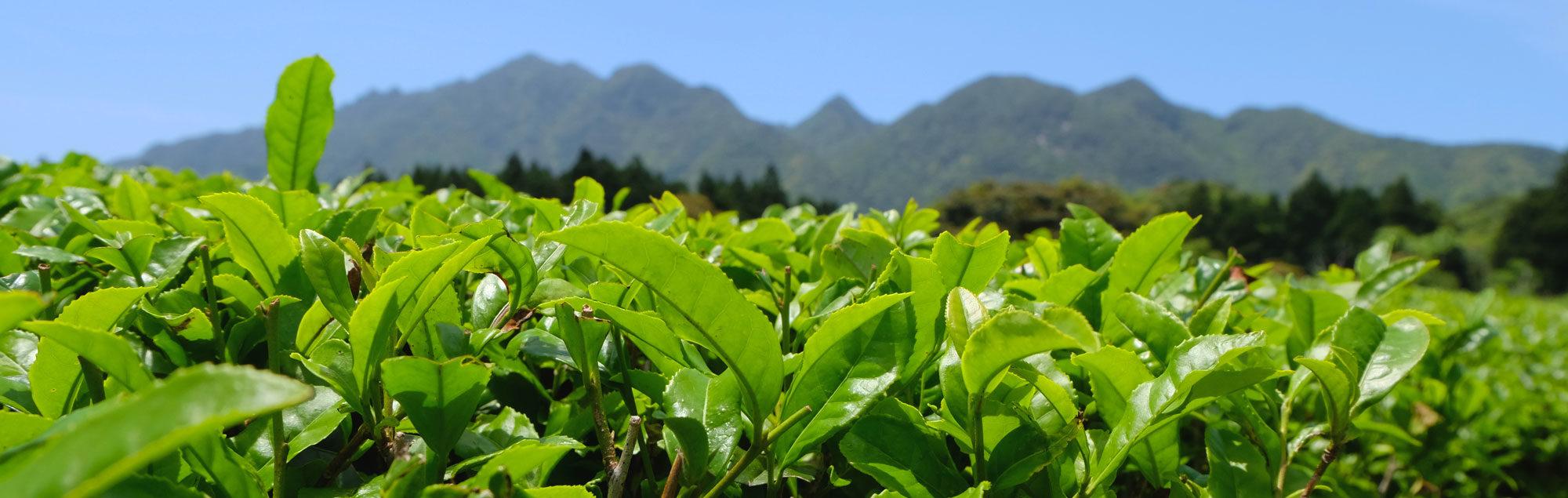 Teefelder Ernte Bancha