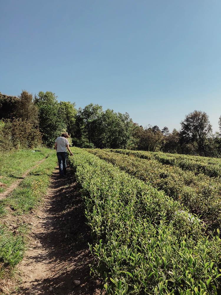 Teeplantage Portugal
