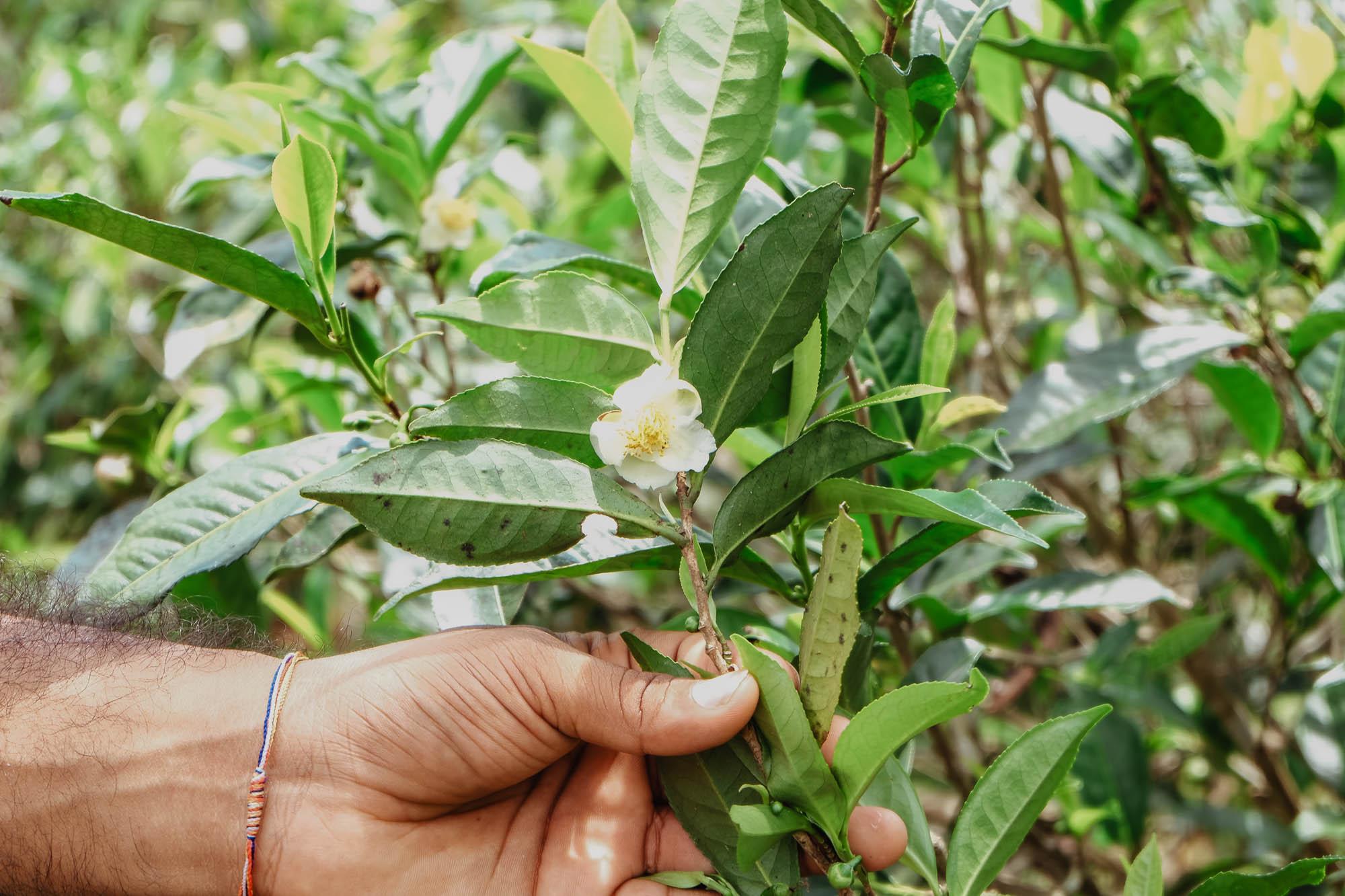 Teepflanze mit Blüte