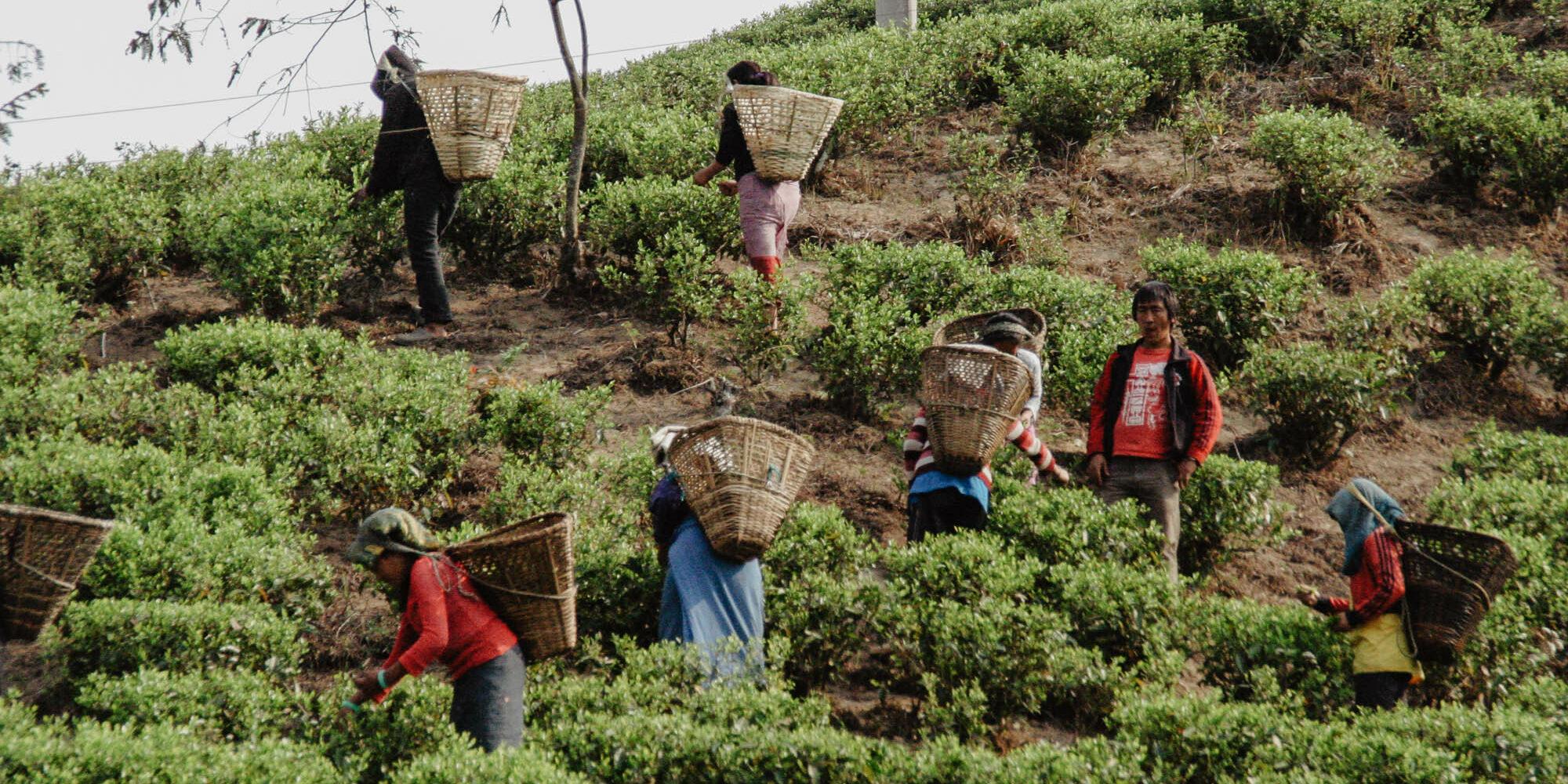 Teeernte in Indien